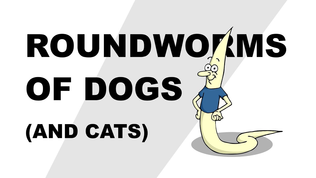 Dog tapeworm anatomy