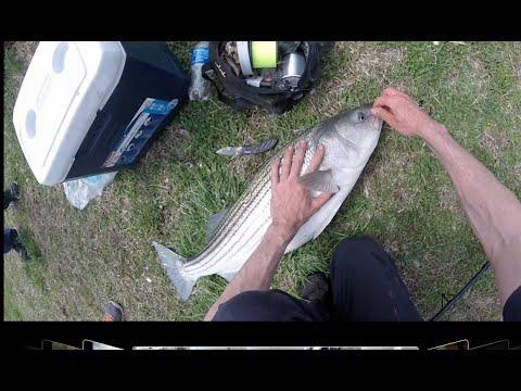 Striper Fishing The Delaware River Spring 2015. Tip: Bunker!