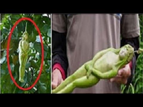 Mystery Tree That Bears Fruit In The Shape Of Women Youtube
