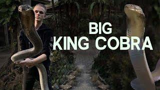 PICKING UP A KING COBRA