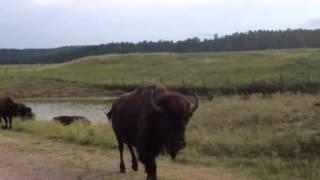 Kelli Smith buffalo
