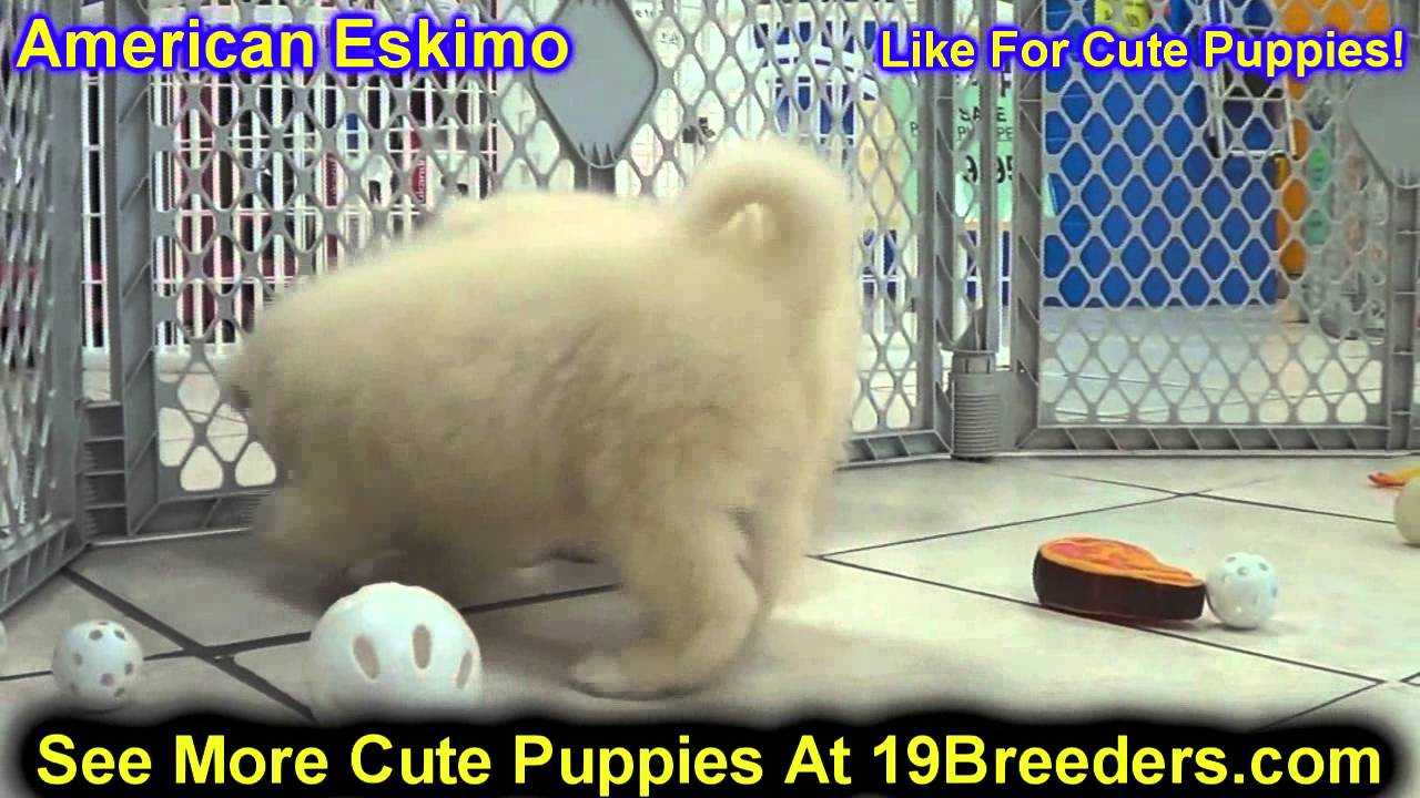 American Eskimo, Puppies, Dogs, For Sale, In Jersey City ...