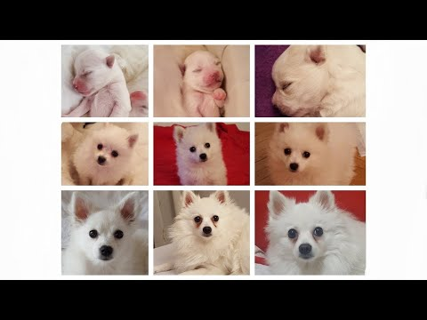 TRANSFORMATION - From FIRST Minute to 1 Year Old - German Spitz (Klein)