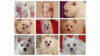 TRANSFORMATION  From FIRST Minute to 1 Year Old  German Spitz (Klein)
