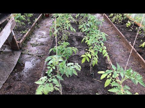 Как поливать томаты после посадки в теплицу