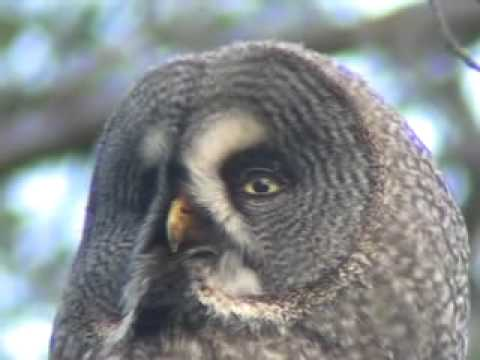 Great Grey Owl (Strix nebulosa) European birds online guide