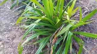 Pandanus Odoratissimus (thatch Screw Pine) Supplier & Exporter Hydrosol & Essential Oil