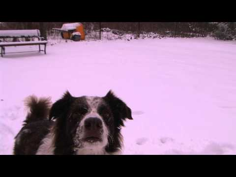 "Border Collie ""Jasper"" in the Snow; C'Ville Virginia, Winter 2014."