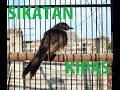 Edan Kicau Burung Sikatan Jawa Bersuara Kristal Sangat Merdu  Tembakan(.mp3 .mp4) Mp3 - Mp4 Download