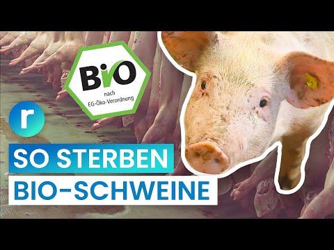 bio-schlachtung:-weniger-leid-fürs-fleisch?-|-reporter
