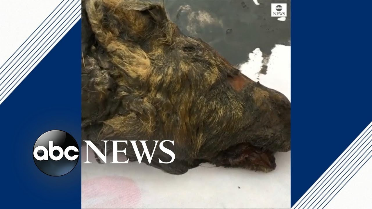 ABC News:Perfectly preserved head of Ice Age wolf found in Siberia
