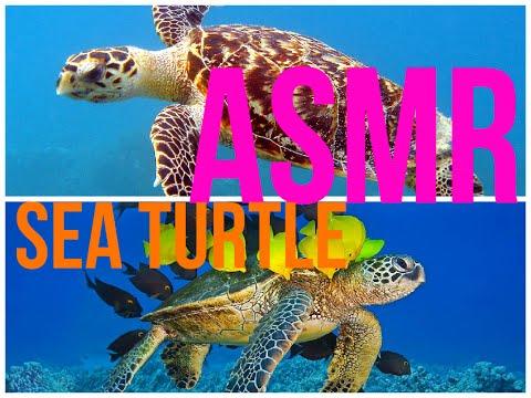 ASMR Sea turtle