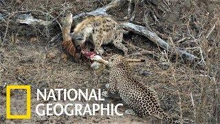 花豹與鬣狗共享屍體,但接下來的情節不輸動物界八點檔《國家地理》雜誌