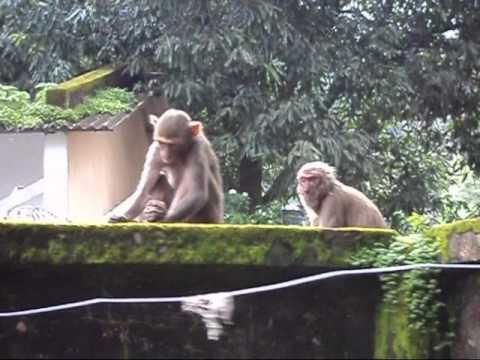 Monkeys at Kirandul