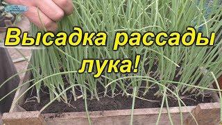 Лук рассадным способом- правильная подготовка и посадка!