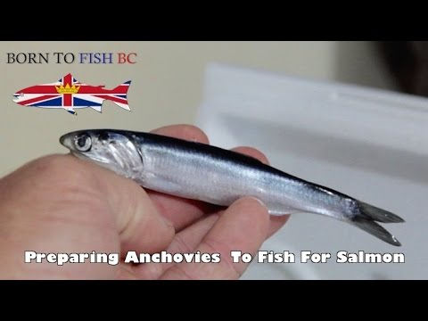 How To Fish Tutorial - Preparing Anchovies To Fish For Salmon