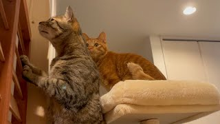 キャットタワーのお引越しに付いてくる猫達がかわいい!