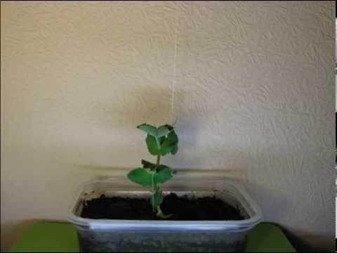 Горох - растение на фото и его сорта с описаниями