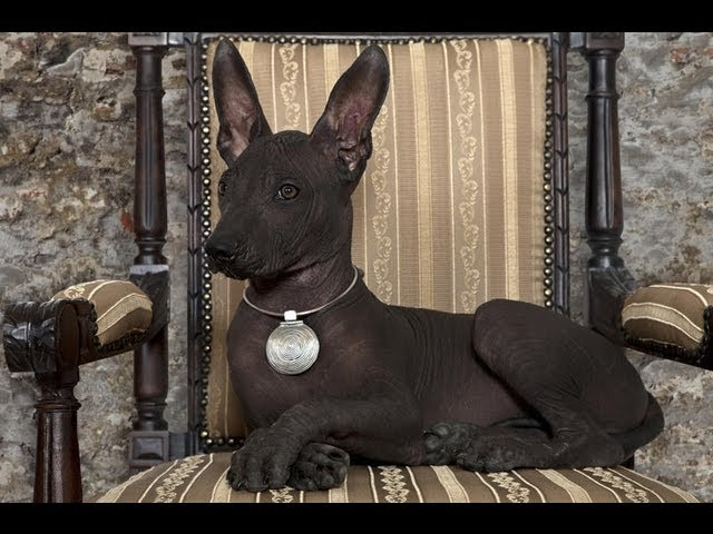 Мексиканская голая собака(Mexican Hairless). Ксолоитцкуинтли. Породы собак (Dog Breed)