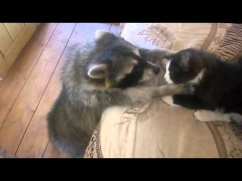 Енот: Дайте мне кота! (Енот и кот)