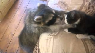 Raccoon: Give me the cat!