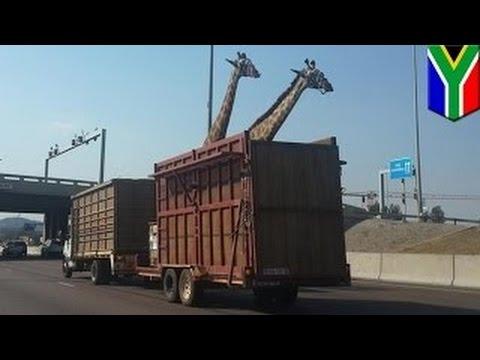 Жираф погиб, ударившись головой о мост