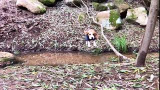 Beagle Leaping Over A Water Stream