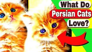 What do Persian Cats love? How big do Persian Cats get?