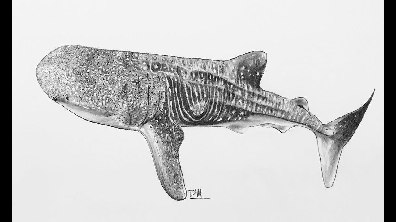 можно готовить рисунок китовой акулы карандашом что