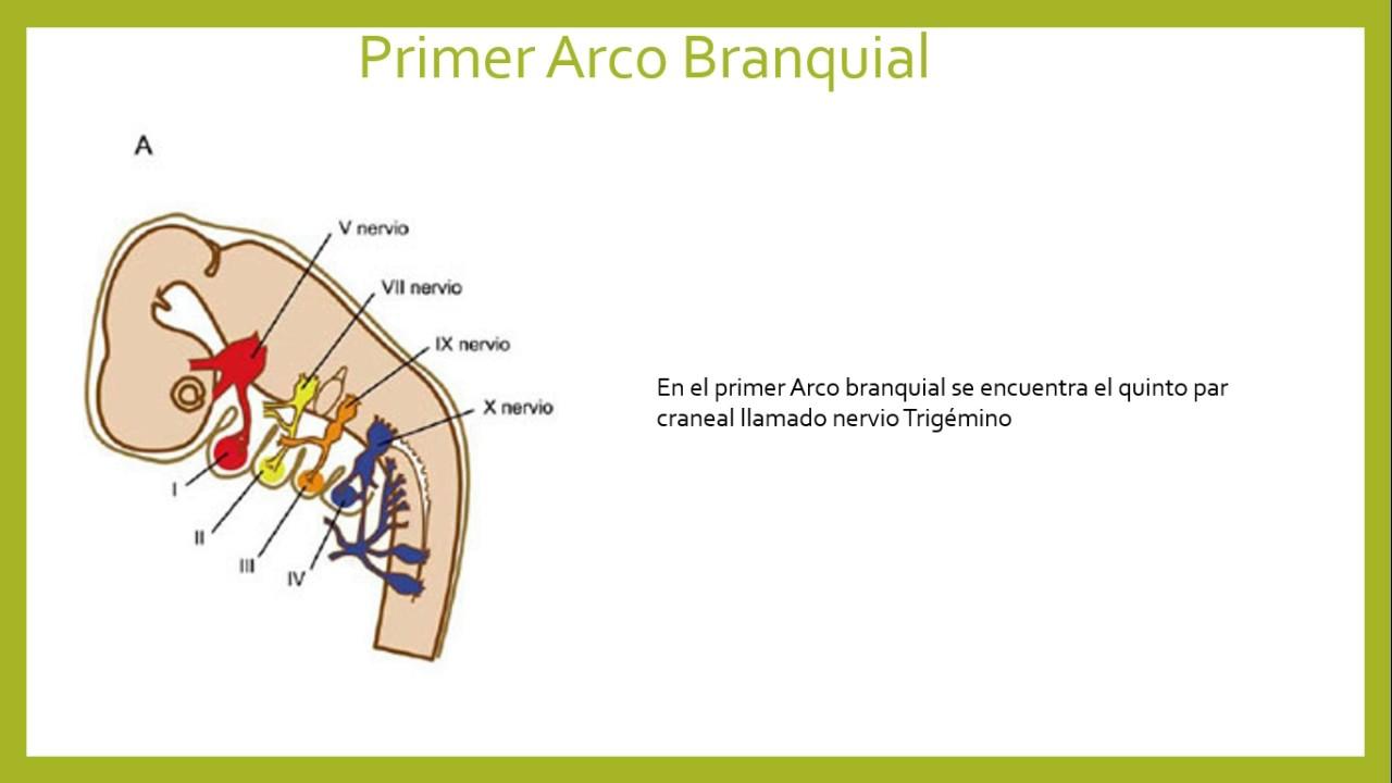 Arcos faringeos embriologia pdf to jpg