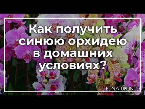 Как получить синюю орхидею в домашних условиях? | toNature.Info