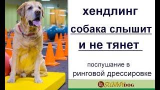 Хендлинг лабрадора.   Собака слышит  вас  и не тянет. Послушание в ринговой дрессировке лабрадора