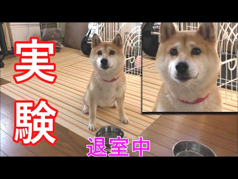柴犬�春 実験�守れる�?15秒間�空腹時�「待��How well is she able to obey her owner s order?Only15 sec!