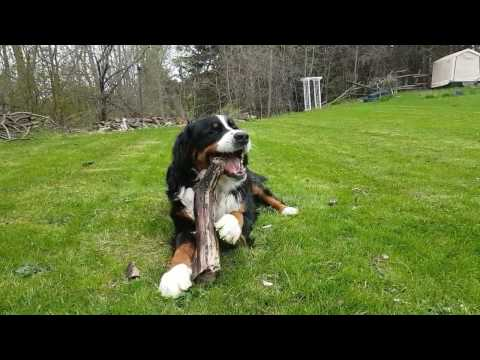 Bernese Mountain Dog playing outside