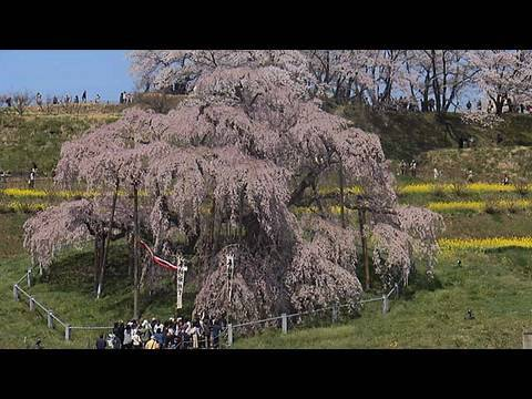 日本五大桜の銘木 The Five great Cerry Blossoms in Japan