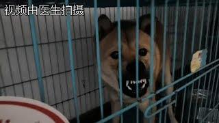 中华田园犬第一次寄养,才过两天医生就打来电话吐槽,听他怎么说.发布中...