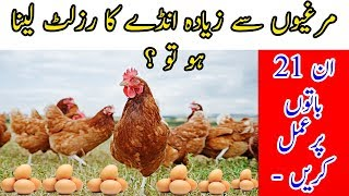 Silkie Chicken Breed Introduction In Urdu - TAQ Farming