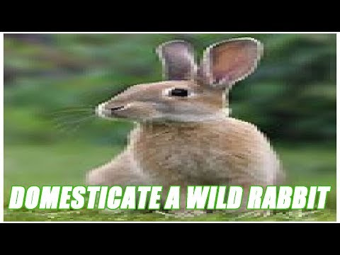 Can You Domesticate A Wild Rabbit