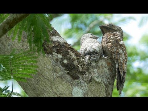 Great Potoo- adult on tree with nestling. 4k UHD footage for sale.