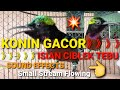 Masteran Konin Gacor Full Isian Ciblek Tebu Kolibri Ninja  Mp3 - Mp4 Download