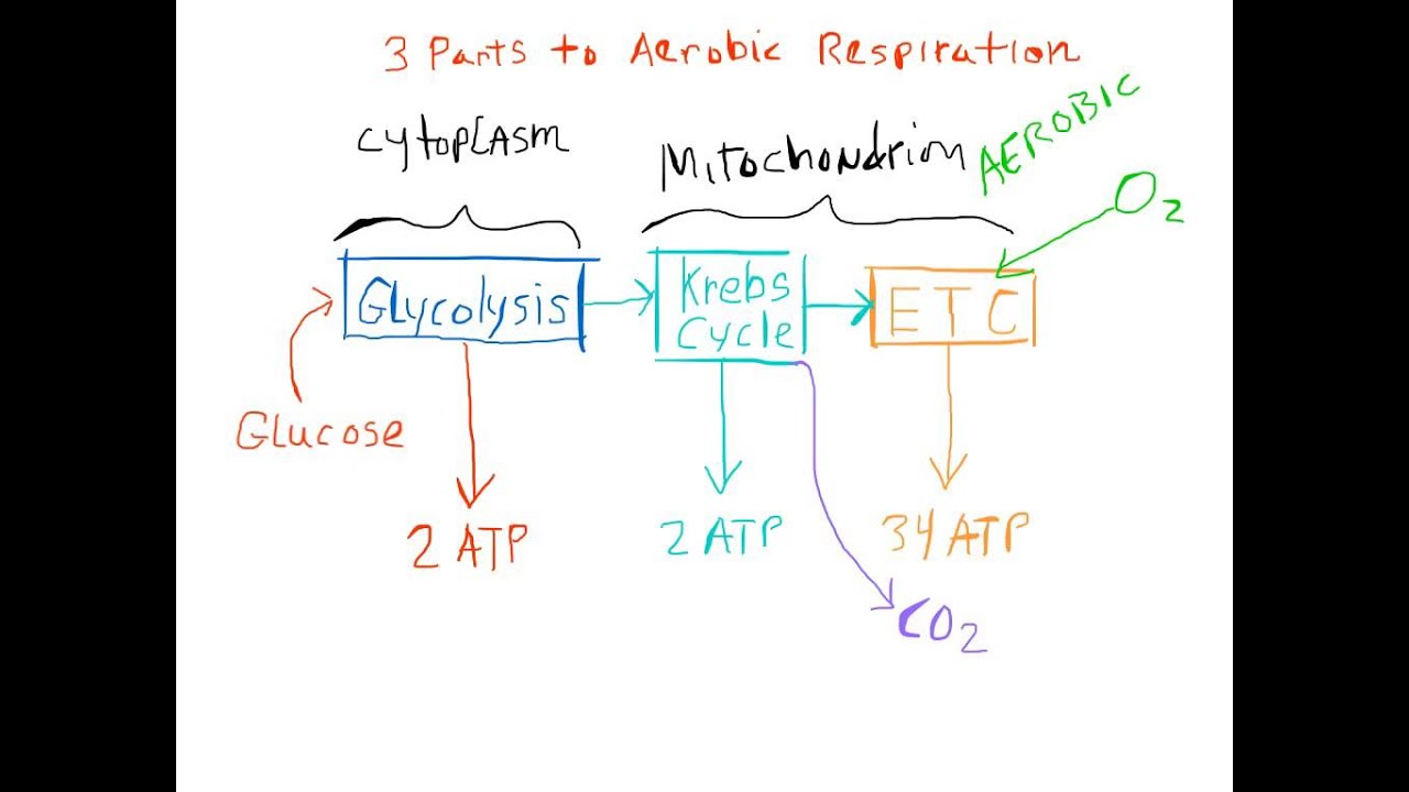 Biology As If It Mattered Chapter 8b Cellular Respiration
