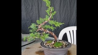 How To Make A Juniper Bonsai For Under $30.00