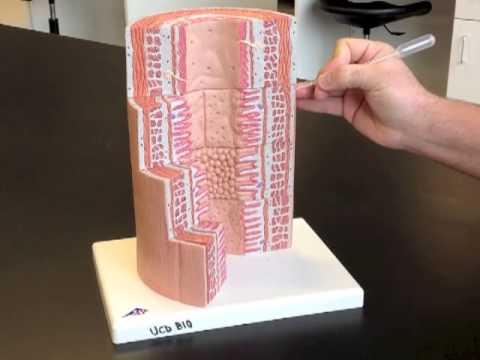 Microscopic GI Tract Model