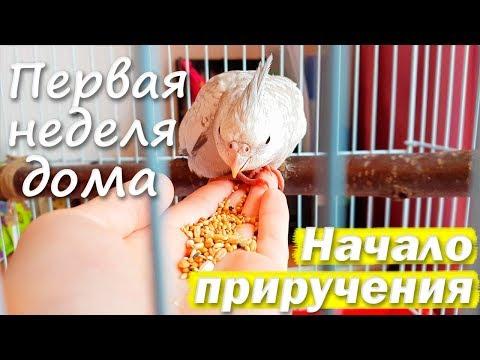 ПЕРВАЯ НЕДЕЛЯ ДОМА. Попугай первый раз сел на руку. С Чего Начинать Приручение? | Рокки Life