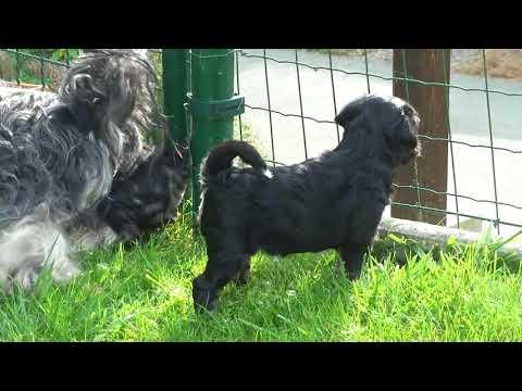 Tibet Terrier von der Ingoklippe
