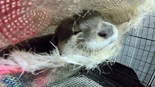 Aty's troubles [Otter life Day 140] アティの困りごと