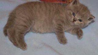 Британцы на выставке кошек с редкими окрасами - черепаховый, серебристый затушеванный!!!