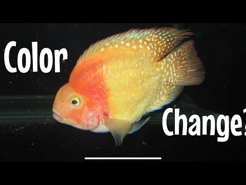 Color Change on Blood Parrot Cichlid? Discoloration?