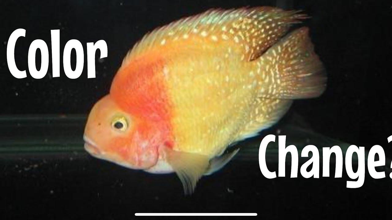 Color Change on Blood Parrot Cichlid? Discoloration? - YouTube