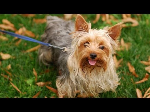 All About Yorkshire Terriers